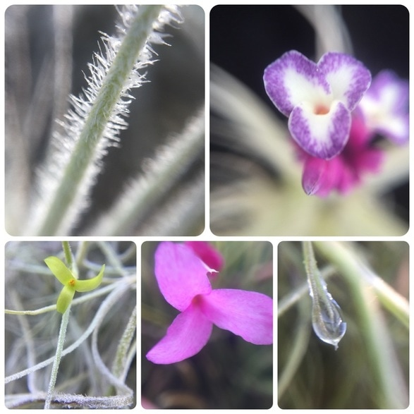 Macro images of Tillandsia tectorum, purpurea, usneoieds and argentina. Macro trichomes